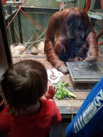 Viewing the orang-utans through the window..